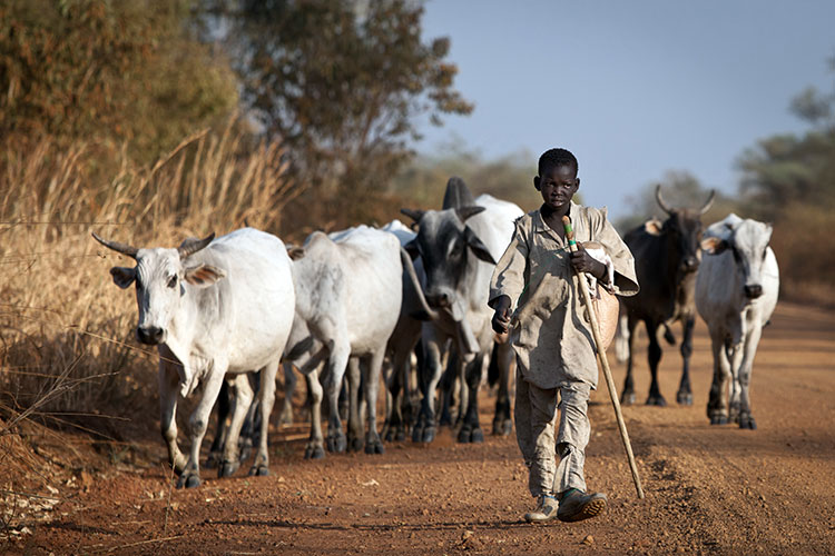 boy-leading-cattle